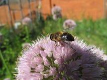 Ciérrese encima de abeja en la flor Imágenes de archivo libres de regalías