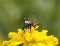 Ciérrese encima de abeja en la flor amarilla (las abejas del Hoja-corte) Fotos de archivo libres de regalías