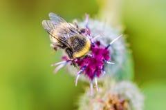 Ciérrese encima de abeja en la flor con el fondo borroso verde Foto de archivo libre de regalías
