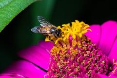 Ciérrese encima de abeja en la flor rosada en naturaleza Fotos de archivo libres de regalías