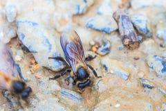 Ciérrese encima de abeja en la tierra Imagen de archivo