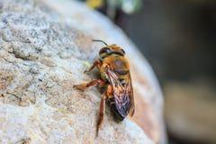 Ciérrese encima de abeja en la tierra Fotos de archivo