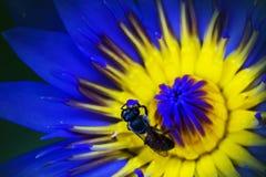 Ciérrese encima de abeja en polen del loto púrpura Imagen de archivo libre de regalías