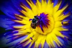 Ciérrese encima de abeja en polen del loto púrpura Fotografía de archivo