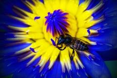 Ciérrese encima de abeja en polen del loto púrpura Imagenes de archivo