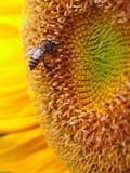 Ciérrese encima de abeja en un girasol Fotografía de archivo