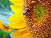 Ciérrese encima de abeja en un girasol Fotografía de archivo libre de regalías