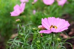 Ciérrese encima de abeja hermosa en colores rosados y púrpuras de las flores del cosmos en jardín Foto de archivo libre de regalías