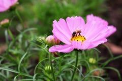 Ciérrese encima de abeja hermosa en colores rosados y púrpuras de las flores del cosmos en jardín Fotografía de archivo libre de regalías