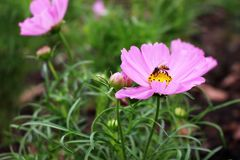 Ciérrese encima de abeja hermosa en rosa y los colores de Perple de las flores del cosmos en jardín Imagen de archivo