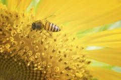 Ciérrese encima de abeja y del girasol Imagen de archivo libre de regalías