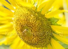 Ciérrese encima de abeja y del girasol Foto de archivo