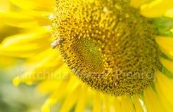 Ciérrese encima de abeja y del girasol Imagenes de archivo
