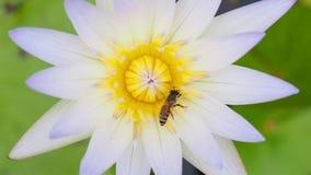 Ciérrese encima de abeja y del loto blanco metrajes