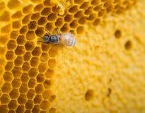 Ciérrese encima de abejas Fotografía de archivo