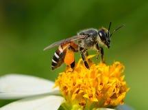 Ciérrese encima de abejas en la flor Fotografía de archivo libre de regalías