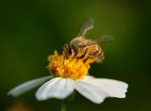 Ciérrese encima de abejas en la flor Imagen de archivo