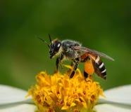 Ciérrese encima de abejas en la flor Fotografía de archivo