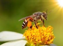 Ciérrese encima de abejas en la flor Fotos de archivo libres de regalías