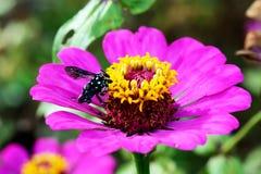 Ciérrese encima de abejas en la flor Foto de archivo libre de regalías