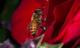 Ciérrese encima de abejas en la flor Foto de archivo