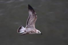 Ciérrese encima de Albatros Imagen de archivo