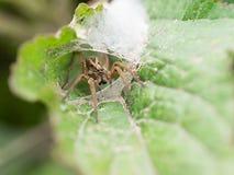 Ciérrese encima de arañas en la hoja en Tailandia Fotografía de archivo libre de regalías