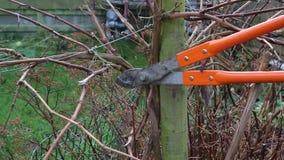 Ciérrese encima de arbusto de la poda con las tijeras de podar o los loppers almacen de metraje de vídeo