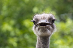 Ciérrese encima de avestruz Fotografía de archivo