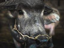 Ciérrese encima de búfalo con la cuerda en la nariz Fotos de archivo libres de regalías