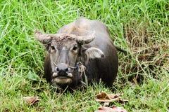 Ciérrese encima de búfalo en potrait en la charca y el campo Fotografía de archivo