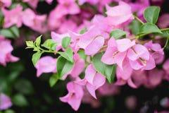 Ciérrese encima de Bougaville rosado Fotografía de archivo