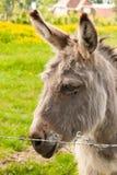 Ciérrese encima de burro en un campo en día soleado Fotos de archivo libres de regalías