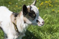 Ciérrese encima de cabra blanco y negro del bebé en una cadena contra las flores de la hierba en un fondo Pastan al niño ridículo imágenes de archivo libres de regalías