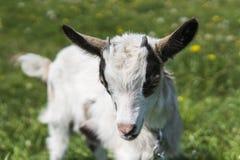 Ciérrese encima de cabra blanco y negro del bebé en una cadena contra las flores de la hierba en un fondo Pastan al niño ridículo fotos de archivo libres de regalías