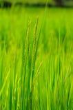 Ciérrese encima de campo de arroz hermoso de arroz Fotografía de archivo