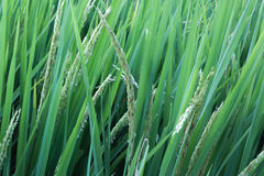 Ciérrese encima de campos del arroz Fotos de archivo libres de regalías
