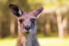 Ciérrese encima de canguro de la fauna Imagen de archivo libre de regalías
