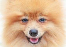 Ciérrese encima de cara del perro pomeranian Imagen de archivo