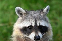 Ciérrese encima de cara de un mapache común Fotografía de archivo