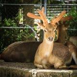 ciérrese encima de ciervos en el parque zoológico fotografía de archivo