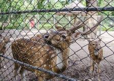 Ciérrese encima de ciervos en la jaula en el parque zoológico Fotos de archivo libres de regalías