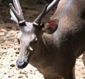 Ciérrese encima de ciervos en parque zoológico Imagen de archivo