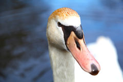 Ciérrese encima de cisne en el lago foto de archivo