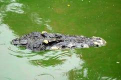 Ciérrese encima de cocodrilo Imagenes de archivo