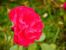 Ciérrese encima de color de rosa se levantó imagen de archivo