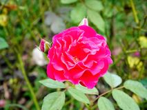Ciérrese encima de color de rosa se levantó foto de archivo libre de regalías