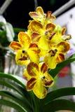 Ciérrese encima de colores amarillos y rojos de la flor de las orquídeas imagen de archivo