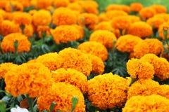 Ciérrese encima de colores anaranjados hermosos de las flores de la maravilla en jardín Fotografía de archivo libre de regalías