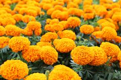 Ciérrese encima de colores anaranjados hermosos de las flores de la maravilla y del fondo verde de la hoja en jardín Foto de archivo libre de regalías
